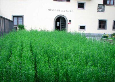 Le pianticelle di lino in crescita al Museo della Valle - foto Pietro Gritti - www.museo della Valle - www.pieroweb.com