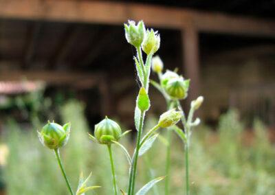 I fiori di lino lasciato spazio a una capsula globosa dove sono contenuti i semi - foto Pietro Gritti - www.museo della Valle - www.pieroweb.com